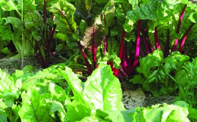 Schnittkohl/ Brassica rapa