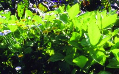 Schwarze Sojabohne/ Glycine maxima