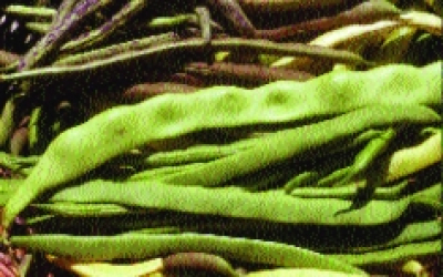 "Buschfisole ""Monika""/ Phaseolus vulgaris nanus"