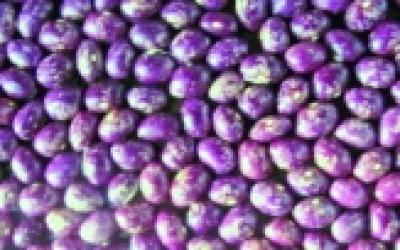 """Stangentrockenbohne """"Purpur""""/ Phaseolus vulgaris"""