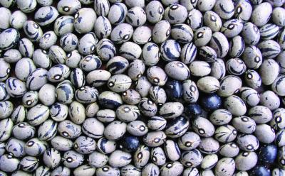 "Stangentrockenbohne ""Tresnjevac""/ Phaseolus vulgaris"