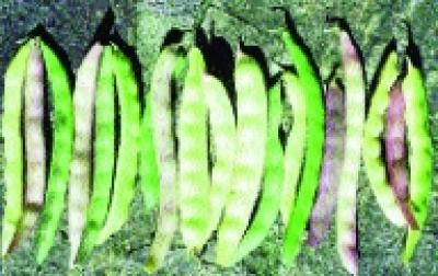 """Stangenfisole """"Braune""""/ Phaseolus vulgaris"""