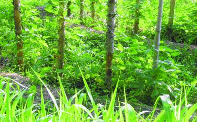 Bunte Butterfisolen/ Phaseolus vulgaris