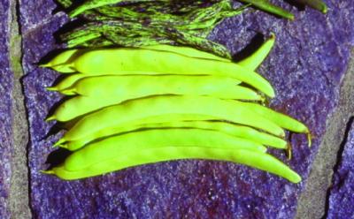 """Stangenfisole """"Frühe gelbe Butterbohne""""/ Phaseolus vulgaris"""