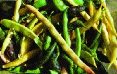 "Stangenfisole ""Frühe lange Fisole""/ Phaseolus vulgaris"
