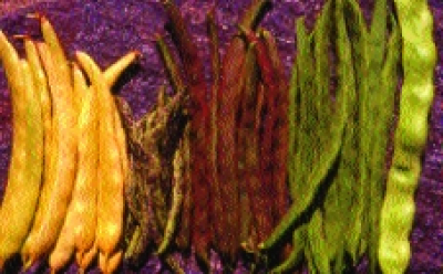 "Stangenfisole ""Ingrid""/ Phaseolus vulgaris"