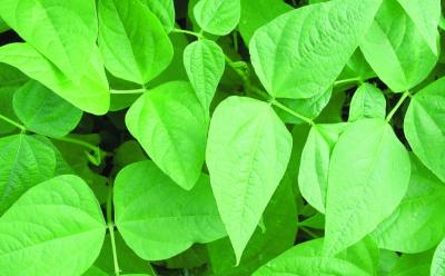 Buschfisolen-Mix/ Phaseolus vulgaris nanus
