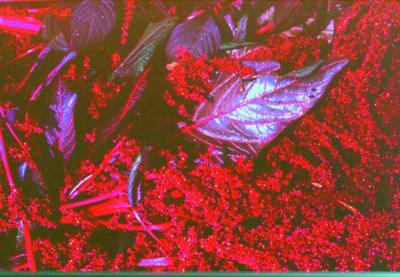 Färberamaranth/ Amaranthus spinosus