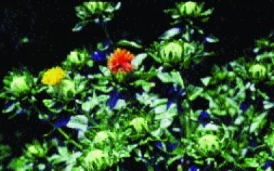 Färberdistel, Saflor/ Carthamus tinctorius