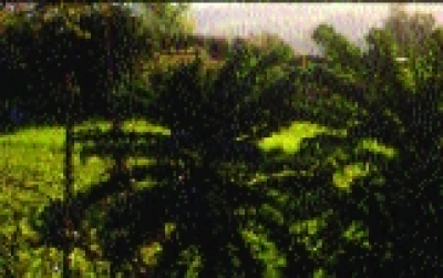 Palmkohl/ Brassica oleracea