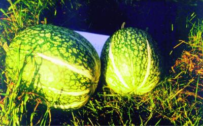 """Speisekürbis """"Feigenblatt""""/ Cucurbita ficifolia"""